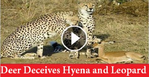 Deer Deceives Hyena and Leopard