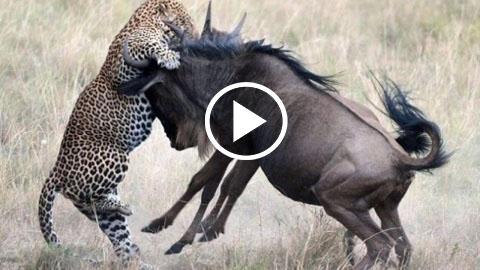 lions, african lion, genetically engineered animals, animals behavior, animal welfare society